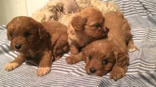 Cavoodle Puppies. Registered Breeders