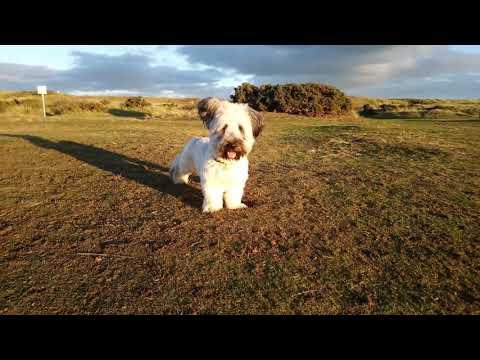 Aberdeen beach with my Skye Terrier Harris