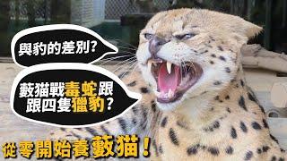【從零開始養】藪猫!與豹的差別?敢與毒蛇跟獵豹打鬥?【許伯簡芝】Serval