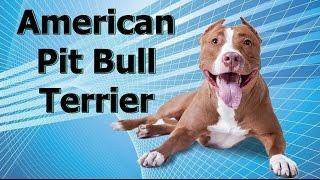 Guia de raças caninas - American pit bull terrier [VÍDEO ANTIGO]