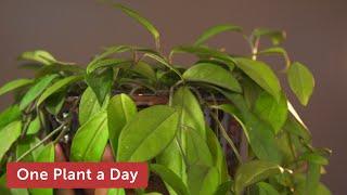 15 of 365: Hoya carnosa (Wax Plant) Houseplant Care