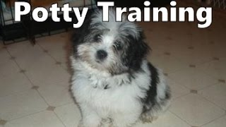 How To Potty Train An Ocherese Puppy - Ocherese House Training Tips - Housebreaking Ocherese Puppies