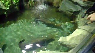 Giant Arapaima Feeding (vicious)