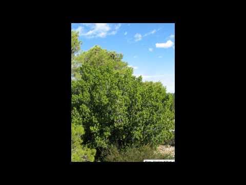 Жостер (трава) – полезные свойства и применение жостера
