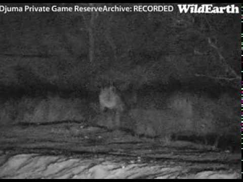 "Grandma Styx ""Gogi"" last time she was seen on Djuma Waterhole cam Sept 2, 2013"