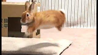 うさぎの、よろこびジャンプ集 NO.1(チャップ・ダンダンウー)Rabbit's joy jump collection thumbnail