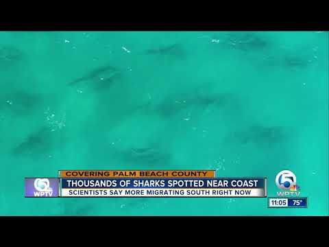 Sharks Migrating South Along Palm Beach County Coast