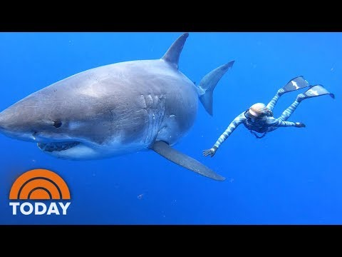 Ocean Ramsey Shares Exclusive Video Of Swimming With Massive Great White Shark   TODAY