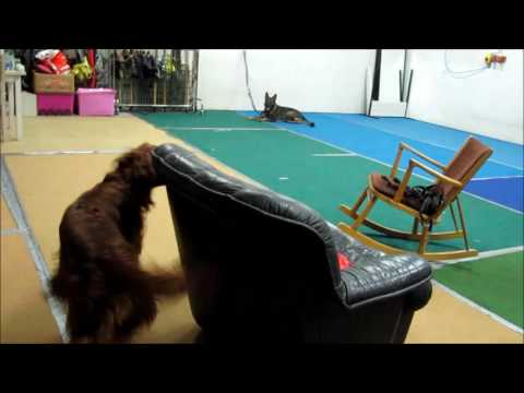 Irish red setter Nilsson, nose work -training 21.2.2017
