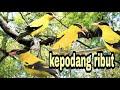 Suara Pikat Burung Kepodang Emas Ampuh  Mp3 - Mp4 Download