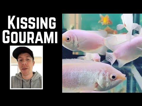 Aquarium Kissing Gourami Fish Care