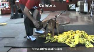 Puppy Protection Dog Training Introduction To Accessories With Culebra