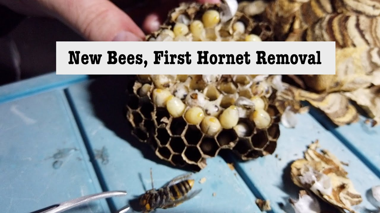 New Bees, First hornet removal