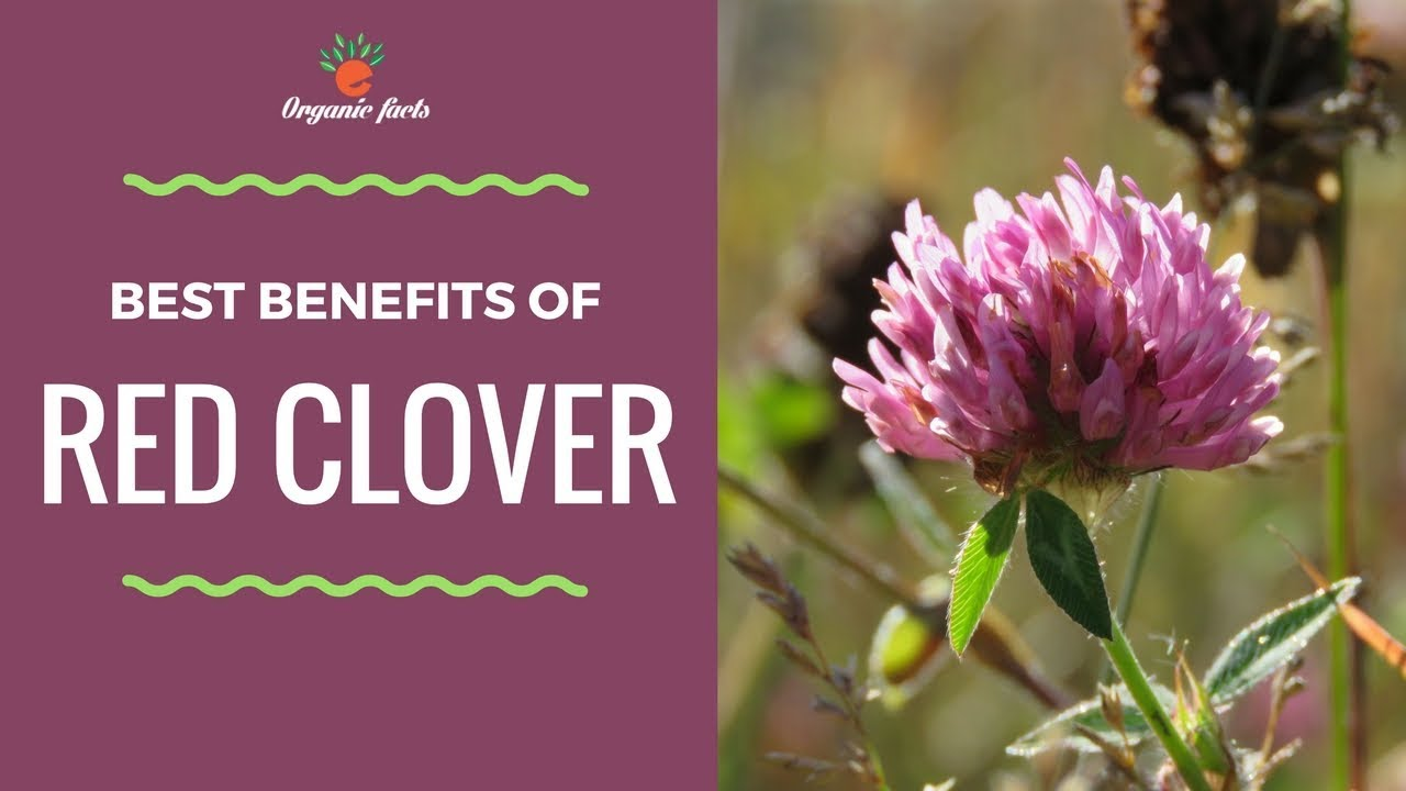 Top 10 Health Benefits Of Red Clover Uses