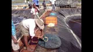 BIOFLOC SHRIMP POND HARVEST @ GEEKAY FARMS,Nellore  Part 2