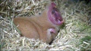 ハムスターが大きく口を開けてあくびをするシーンを3つ用意しました(Ham...