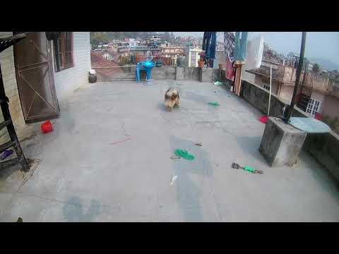 Pomeranian playing fetching | Pomeranian video |