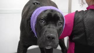 Cane Corso Puppy | Cute Dog