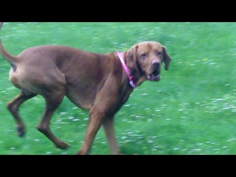 Hungarian Vizsla gets scared of Sebastian Weimaraner.