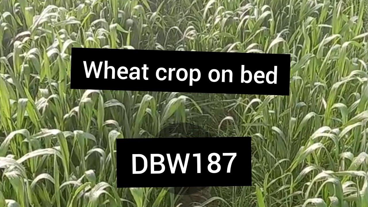DBW187 wheat on bed