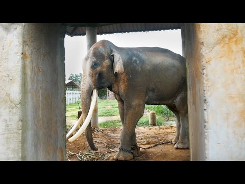 Thailand's Dirty Secret - The Elephants of Thailand