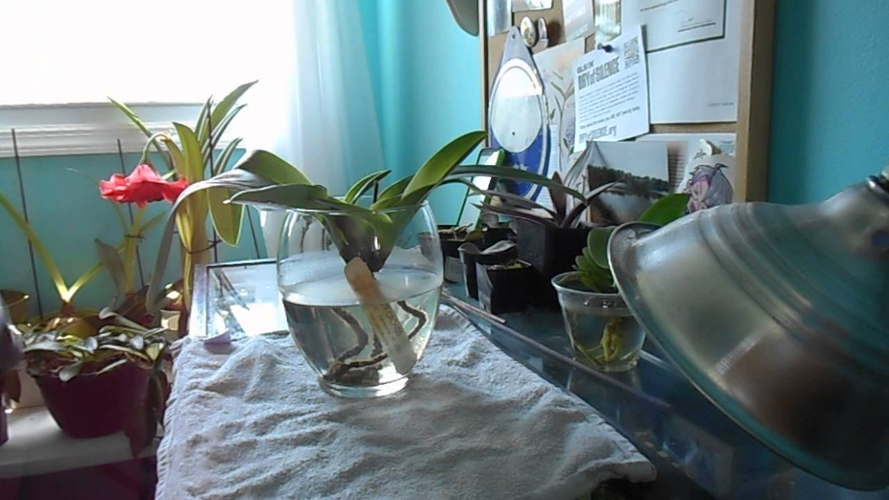how i water my water culture orchids youtube. Black Bedroom Furniture Sets. Home Design Ideas