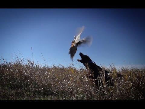 South Dakota  Whitetails  and Pheasants