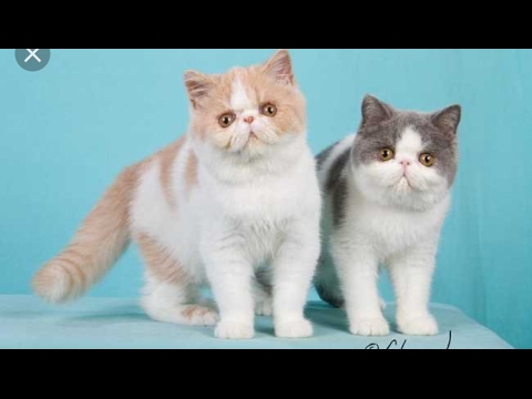 Exotic shorthair mix longhair Persians