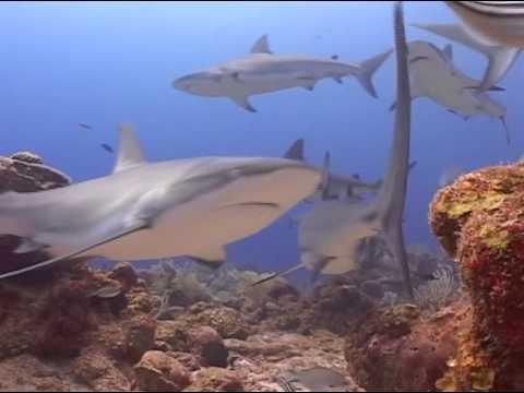 Shark Dive- Roatan, Honduras-November, 2013