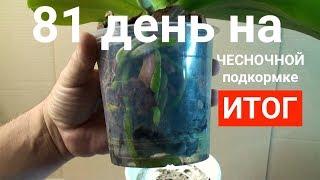 чесночная вода для орхидей ПОТРЯСАЮЩИЙ РЕЗУЛЬТАТ через 81 день КОРНИ ЛИСТЬЯ и ЦВЕТОНОС орхидеи