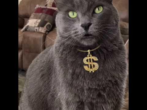 Our Korat cat, Horton Gerard goes gangsta