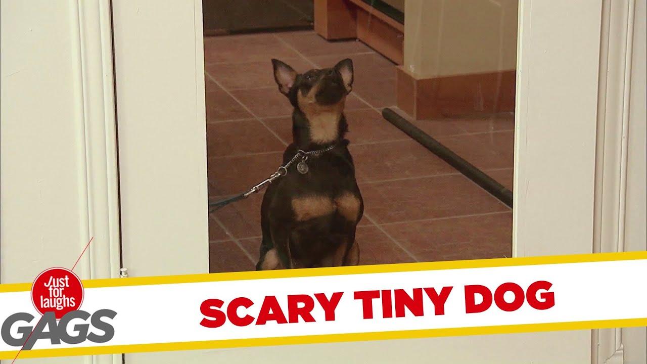 Cute Tiny Dog HORRIFIES People