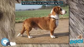 Westphalian Dachsbracke  Everything Dog Breeds