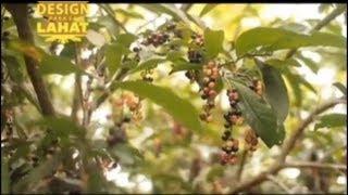 DESTINATION: Kalinga's Coffee Industry Thumbnail
