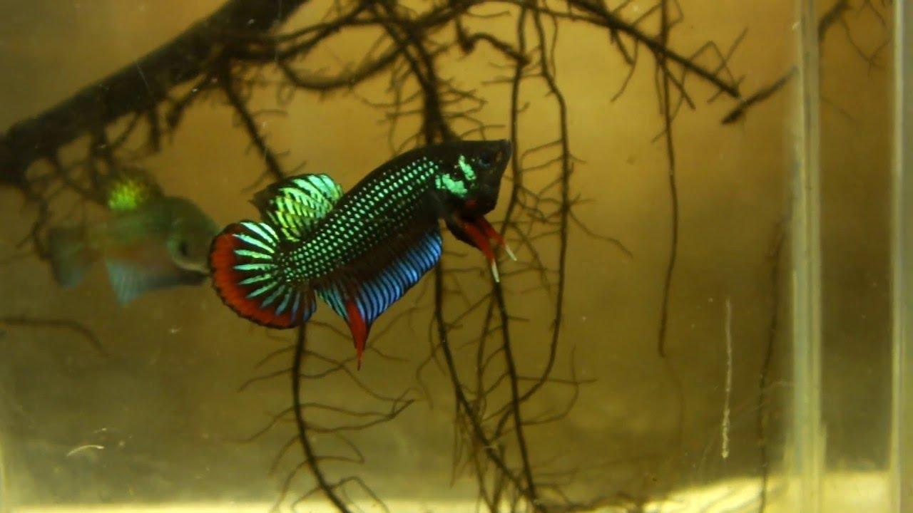 Betta fish in the wild - photo#30