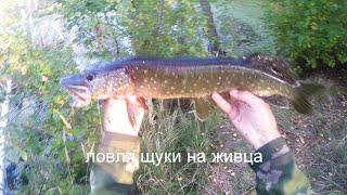 Ловля щуки на живца,видео rybachil.ru(Ловля щуки на жерлицы поставушки с берега. http://rybachil.ru http://rybachil.ru/rybalka/video-lovlya-shhuki-na-zhivca/, 2014-10-05T06:16:57.000Z)