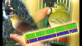 Video jinak dulu baru buka paruh..!! 4 cara menjinakan burung pleci agar cepat bukpar download MP3, 3GP, MP4, WEBM, AVI, FLV Agustus 2018