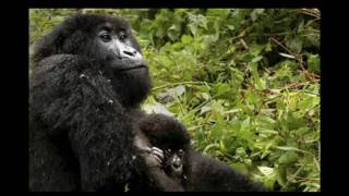 My Life As A Mountain Gorilla - Words, music, keyboard and vocals by Connie Gillies (c) 2011