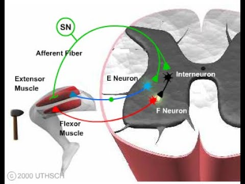 Synaptic Transmission and the Central Nervous System