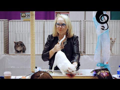 CFA International Show 2018 - Miscellaneous breeds - Khao Manee
