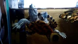 Уход за красноухими черепахами