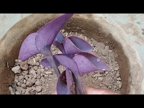 Purple heart plant growing tips and how to grow cutting