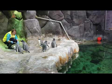 Feeding the Gentoo penguins