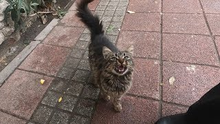 Cat with fluffy tail is meowing for food on a cold day