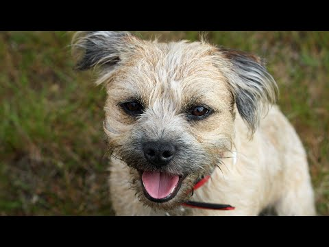 Amazing Facts on Border Terrier | In Hindi | Dog Facts | Animal Channel Hindi