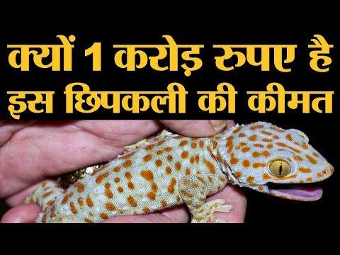 1 करोड़ रुपए में बिकती है ये छिपकली, जानिए क्यों होता है इनका शिकार   Tokay Gecko Lizard