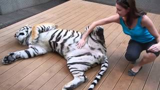 A big cat being petted on its belly... - Chiang Mai / Tiger Kingdom