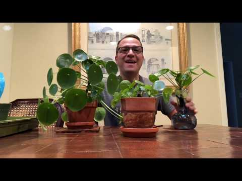 Propagating Pilea Peperomioides - Chinese Money Plant