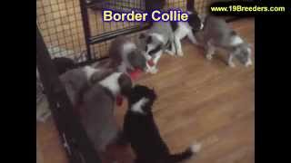 Border Collie, Puppies, For, Sale, In, Allegheny, Pennsylvania, Pa, Bucks, Chester, County, Berks, D