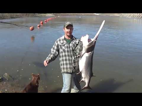 Snagging Spoonbill. Fort Gibson Dam In Oklahoma